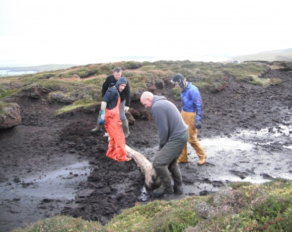 Peatland Restoration at Cunningsburgh Hill Apportionment by Lerwick, Shetland.